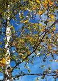 Дерево осени березы голубого неба Стоковые Фото