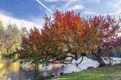 Дерево осени над рекой Стоковое Фото
