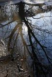 Дерево отраженное в лужице Стоковые Изображения RF