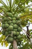 Дерево очень вполне зеленой папапайи стоковое фото rf