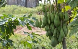 Дерево очень вполне мужской зеленой папапайи стоковое фото