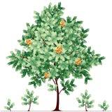 Дерево доллара Стоковая Фотография