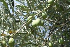 Дерево оливкового масла стоковые фото
