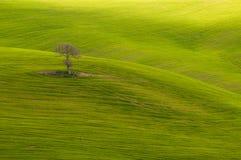Дерево одиночки стоковое изображение rf
