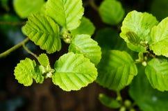 Дерево ольшаника Стоковое Изображение RF