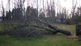 Дерево падая после подрядчика использует цепную пилу на ем сток-видео