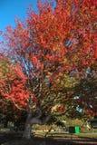 Дерево падения вполне ярких красных цветов и апельсинов с ярким светом неба Стоковые Фото