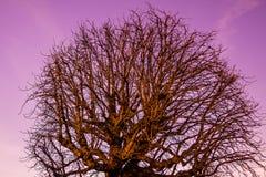 Дерево падения на фиолетовом небе стоковые фотографии rf