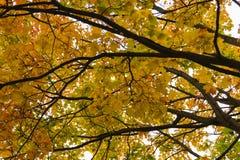 Дерево падения осени в лесе с коричневыми ветвями и желтым оранжевым зеленым цветом выходит в парк на фоновое изображение солнечн Стоковое фото RF