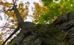 Дерево падения осени в лесе с коричневыми ветвями и желтым оранжевым зеленым цветом выходит в парк на фоновое изображение солнечн Стоковое Фото