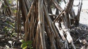 Дерево пандана сток-видео