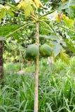 Дерево папапайи в лесе Стоковые Фото