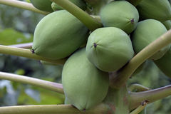 Дерево папапайи гружёное с незрелыми плодоовощами стоковая фотография rf