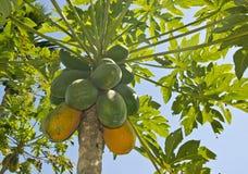 Дерево папапайи зрея стоковое фото