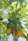 Дерево папапайи зрея стоковое изображение rf