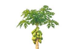 Дерево папапайи изолированное на белой предпосылке Стоковые Фотографии RF