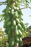 Дерево папапайи на Бали, Индонезии Стоковые Фото