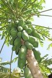 Дерево папапайи на Бали, Индонезии Стоковые Фотографии RF