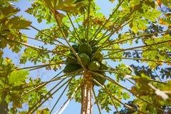 Дерево папапайи на солнечный день стоковые фотографии rf