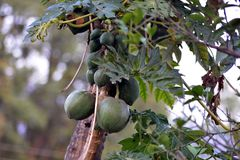 Дерево папапайи с плодоовощ Стоковые Фотографии RF