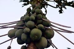 Дерево папапайи с плодоовощ Стоковая Фотография