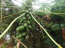 Дерево папапайи с полным папапай стоковое изображение