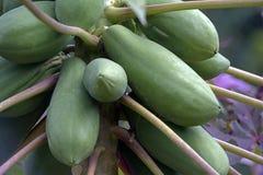 Дерево папапайи с плодоовощами стоковые фотографии rf