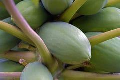 Дерево папапайи с плодоовощами стоковые изображения