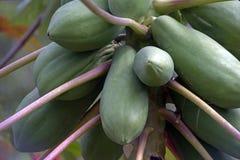 Дерево папапайи с плодоовощами стоковое изображение rf
