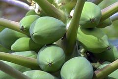 Дерево папапайи с плодоовощами стоковая фотография