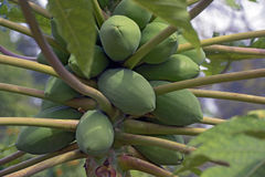 Дерево папапайи с плодоовощами стоковые фото