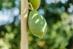 Дерево папапайи с плодоовощами Стоковые Изображения RF
