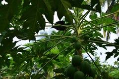 Дерево папапайи с myna, полем повреждения бича стоковые изображения rf