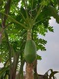 Дерево папапайи что полный плодов папапайи стоковые фото
