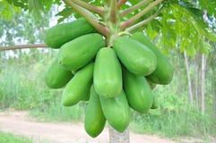 Дерево папапайи Стоковая Фотография RF