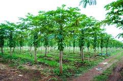 Дерево папапайи Стоковые Фотографии RF