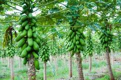 Дерево папапайи Стоковая Фотография