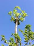 Дерево папапайи Bulr в северо-восточном Таиланде Стоковое фото RF