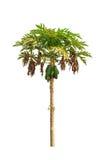 Дерево папапайи (Carica папапайя) Стоковое Фото