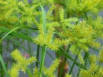 Дерево папируса Стоковое Фото
