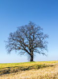Дерево пасьянса весны на горизонте Стоковое Изображение RF