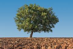 Дерево пасьянса Стоковая Фотография