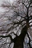 Дерево - плача верба Стоковые Изображения