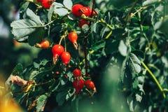 Дерево плода шиповника и fruity, сход плода шиповника, плодоовощ для травяной обработки, зрелый плодоовощ плода шиповника плода ш Стоковое Изображение