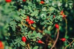 Дерево плода шиповника и fruity, сход плода шиповника, плодоовощ для травяной обработки, зрелый плодоовощ плода шиповника плода ш Стоковое Изображение RF
