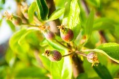 Дерево плода шиповника с незрелыми плодами шиповника Стоковая Фотография RF