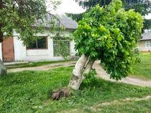 Дерево повреждено в результате аварии дорожного движения, корень сорвано вне от земли стоковое изображение