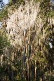 Дерево покрытое с испанским мхом стоковое изображение rf