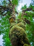 Дерево покрытое с крупным планом мха стоковое изображение rf