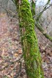 Дерево покрытое с мхом Стоковое фото RF